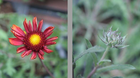 T's Garden Healing Flowers‐オレンジ色のガイラルディア
