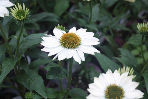 T's Garden Healing Flowers‐エキナセアアルバ