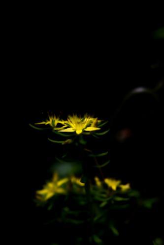 黄色い花ss