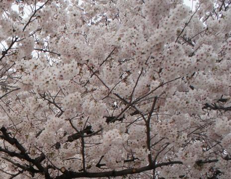 sakura_20120616014334.jpg