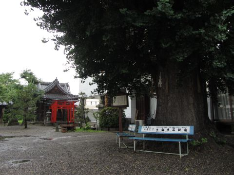 和田神社のいちょう
