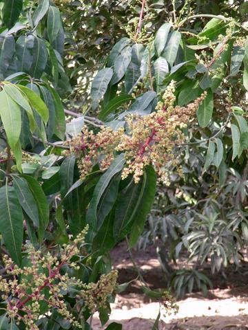 ismailia mango
