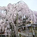 太平山神社の桜