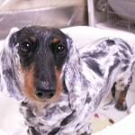 犬をお風呂に入れて洗う