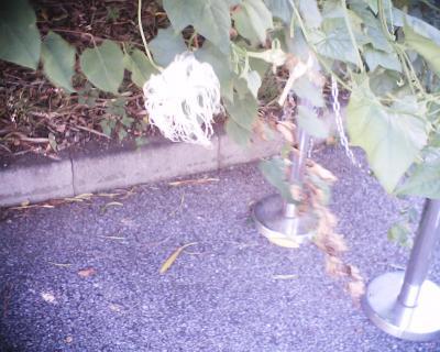 カラスウリの花:R2