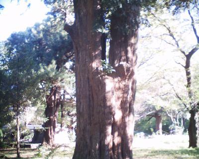 大カヤの木:R2