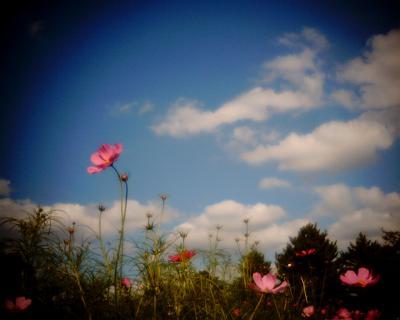 秋空に秋桜:昭和記念公園:Entry