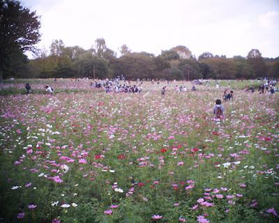 コスモス咲き乱れる昭和記念公園:R2