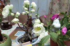 白ボケの花