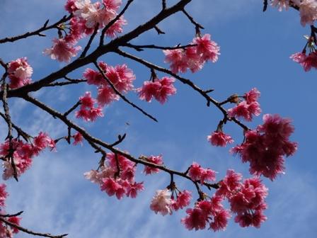 DSC01412 - 桜