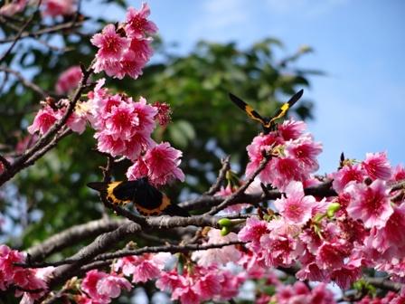 DSC01437 - 桜