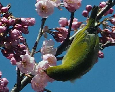 緋寒桜に目白