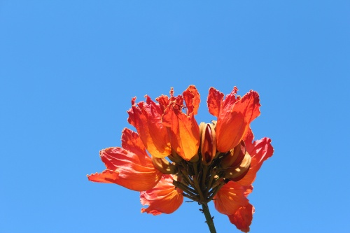afrikan tulip