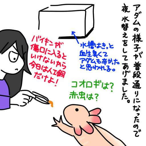 20121116ウーパールーパー出血記録6