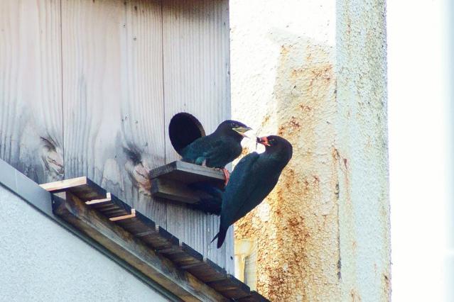 ブッポウソウ(幼鳥と成鳥)