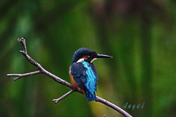 カワセミ♂幼鳥(201306228252)