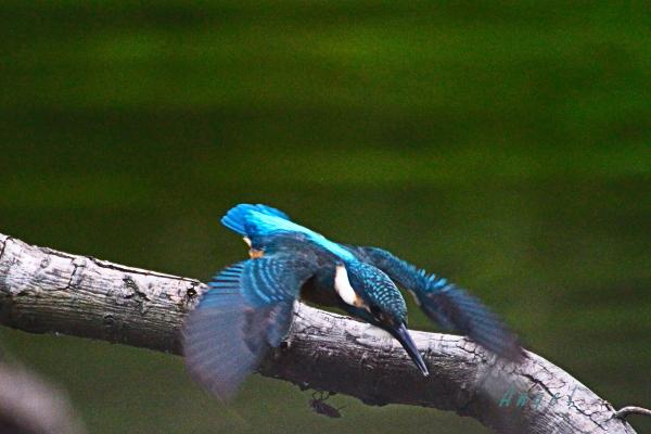 カワセミ♂幼鳥(201306228231)