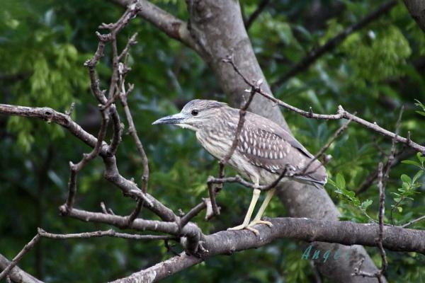 ゴイサギ幼鳥(201306227605)