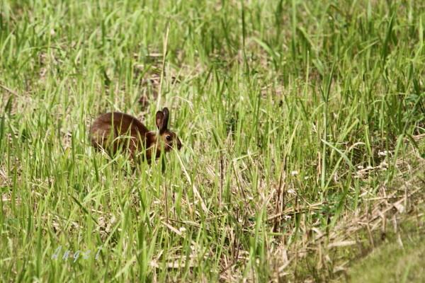 ニホンノウサギ(201306301168)