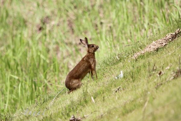 ニホンノウサギ(201306301177)
