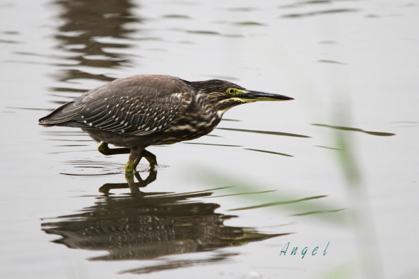 ササゴイ幼鳥(201308253206)
