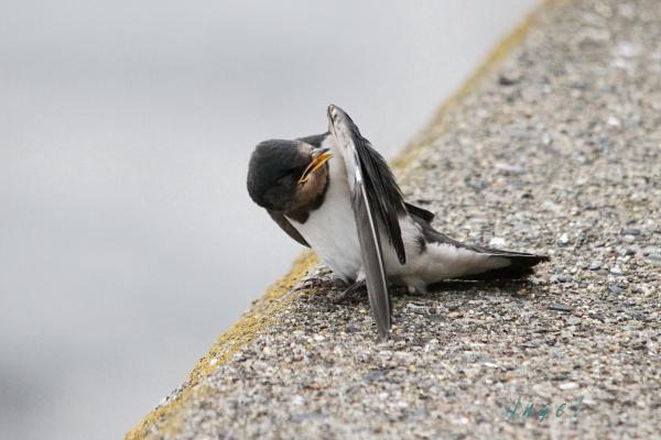 ツバメ幼鳥(201308253891)