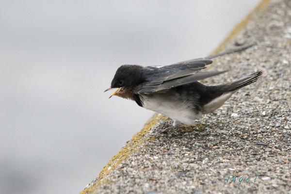ツバメ幼鳥(201308253937)