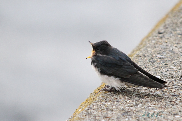 ツバメ幼鳥(201308253963)