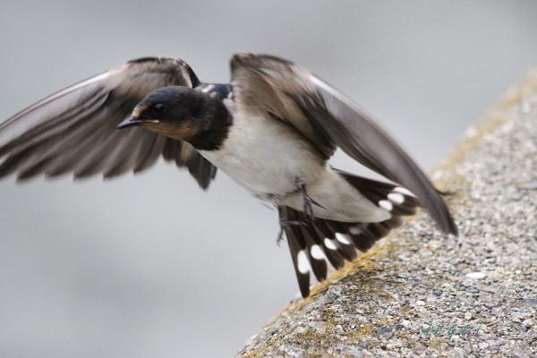 ツバメ幼鳥(201308253806)