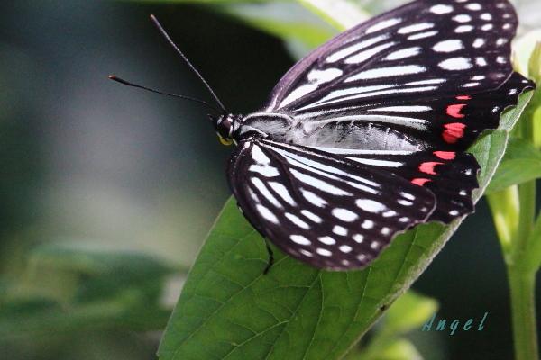 アカボシゴマダラ(201309228808)