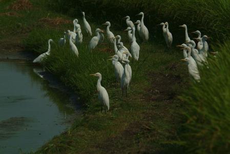 cattle-egrets