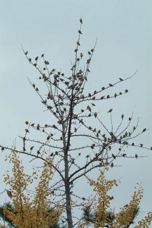 siskin-tree