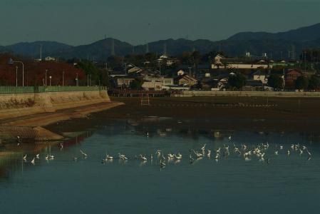 white-herons-h
