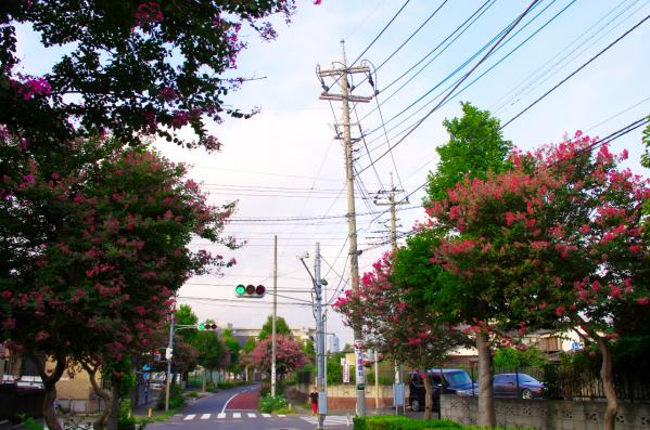 サルスベリの街路樹 / The roadside tree of a crape myrtle
