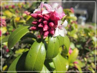 0228-沈丁花