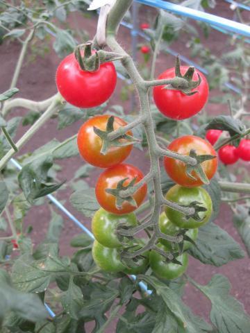 折笠さんのトマトなっている921