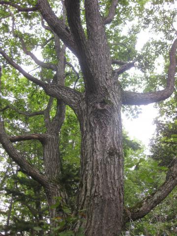 我が家の樹929
