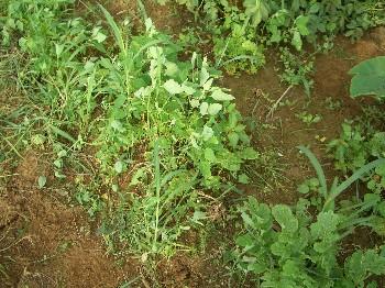 130824ダイコン畑の雑草