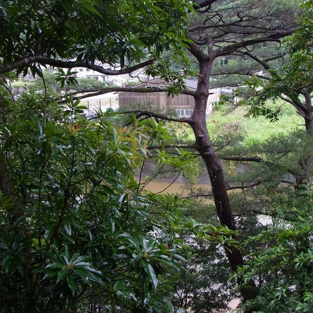ヤンバルクイナが停まった松の木-R0011624