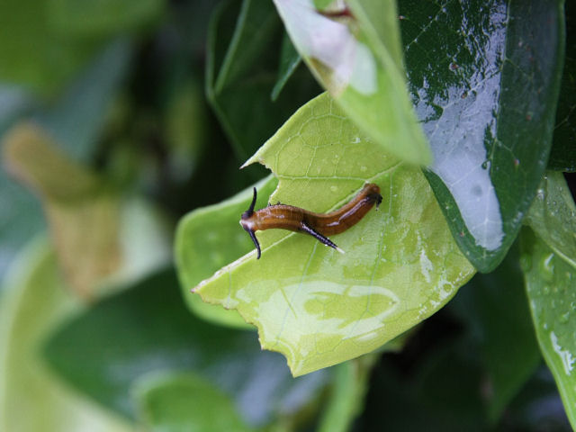 イシガケチョウ幼虫-IMG_2080