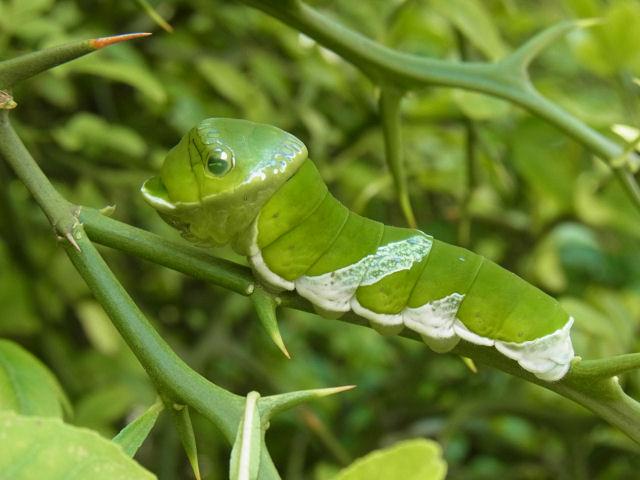 ナガサキアゲハ幼虫50mm-R0012386