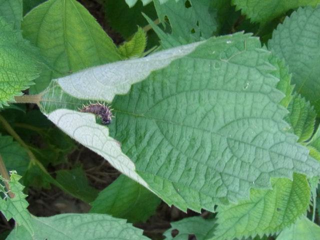 アカタテハ幼虫30mm-R0012856