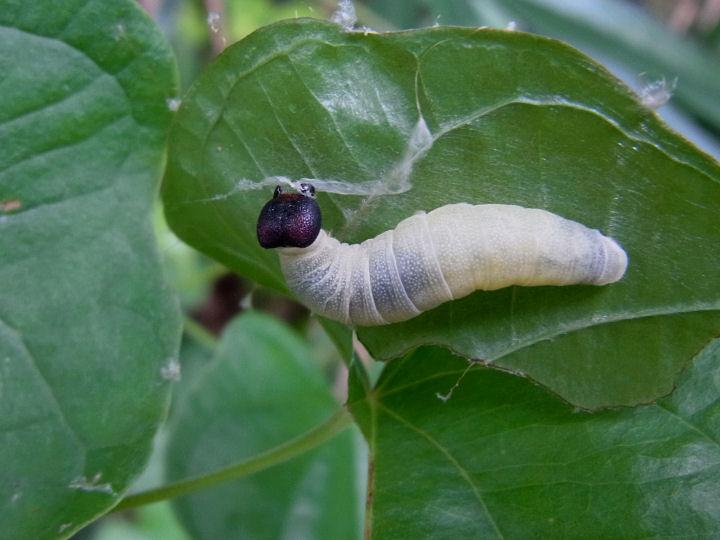 ダイミョウセセリ幼虫24mm-R0012999