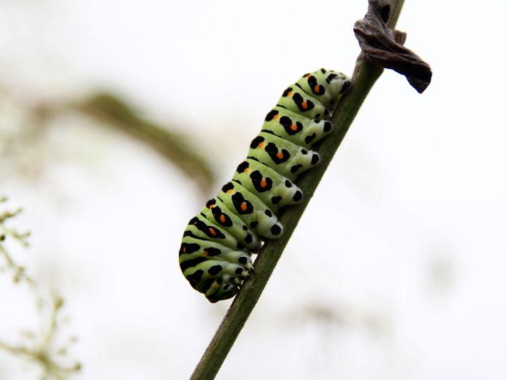 キアゲハ幼虫-IMG_9972