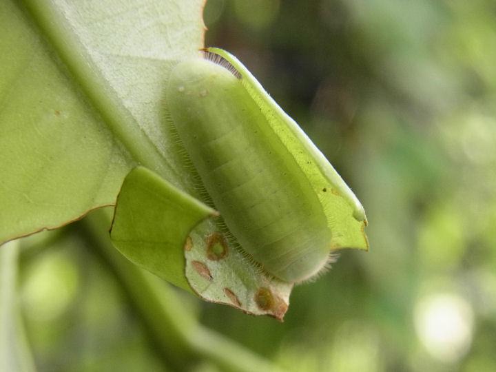 ムラサキツバメ幼虫15mm-R0013346