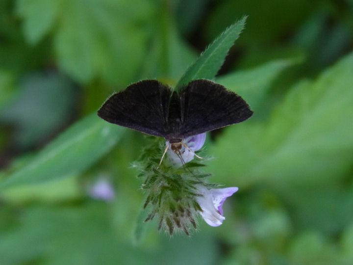 未同定の小さな黒い蛾-R0013509