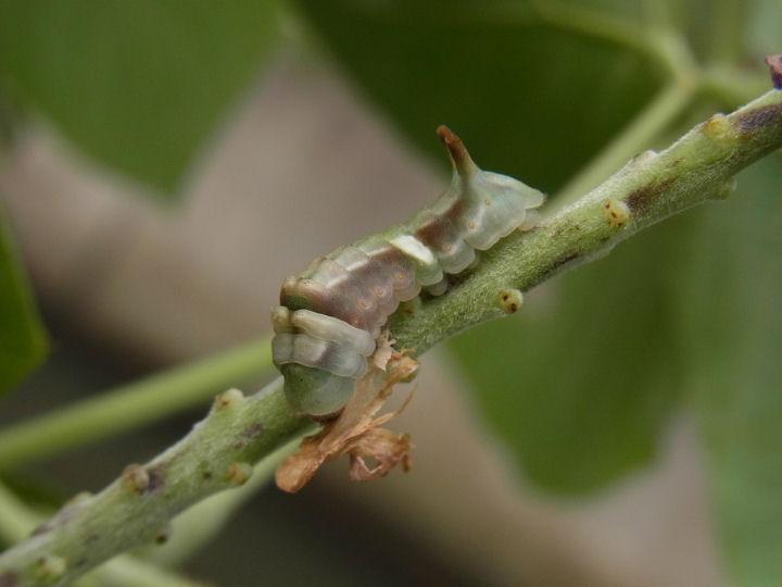 ウラギンシジミ幼虫18mm-R0013853