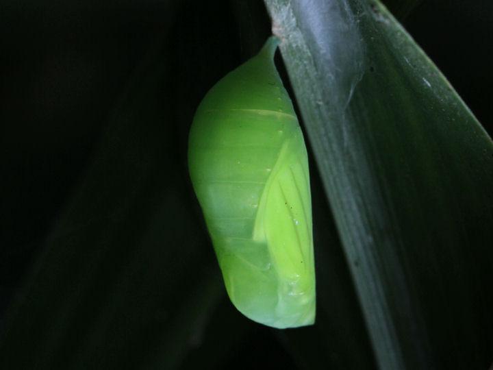 クロコノマチョウ蛹-IMG_2157