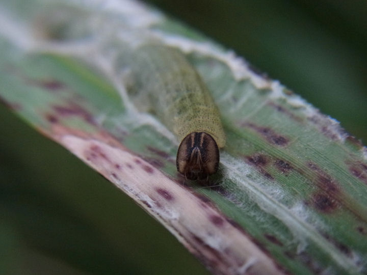 イチモンジセセリ幼虫-R0014494