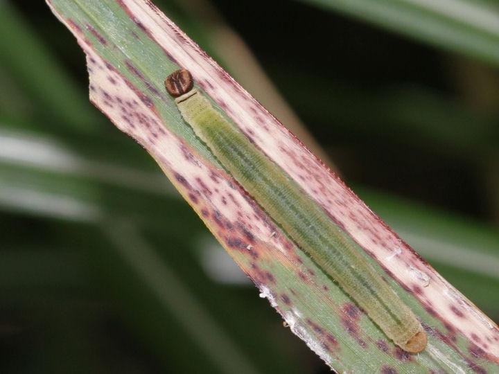 イチモンジセセリ幼虫-IMG_2282